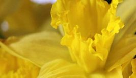 close up of daffodil flower